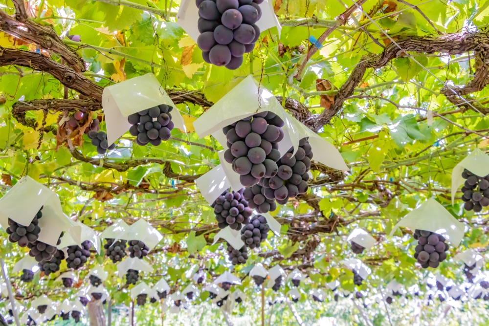 Things to Do in Yamanashi: Japan's Wine Country