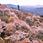 Best cherry blossom spots in Japan