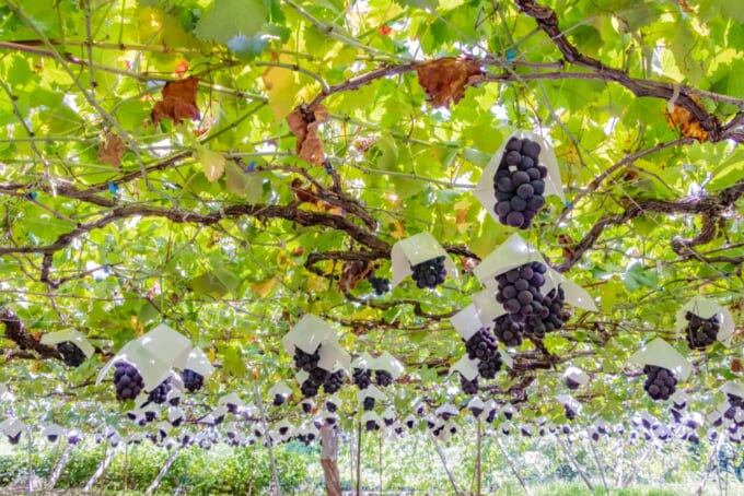 Grape vines for making wine in Japan, Koshu area