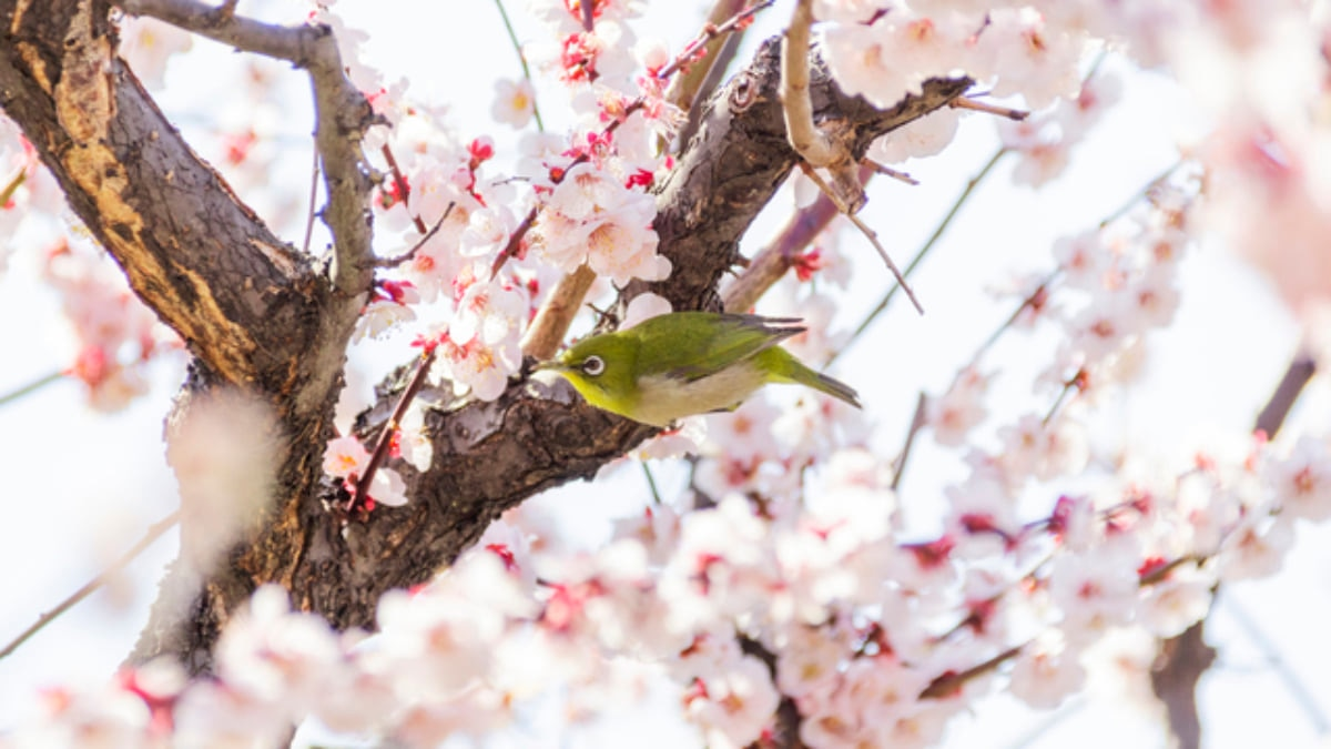 Ume Matsuri: The Top 5 Places to See Plum Blossoms in Tokyo