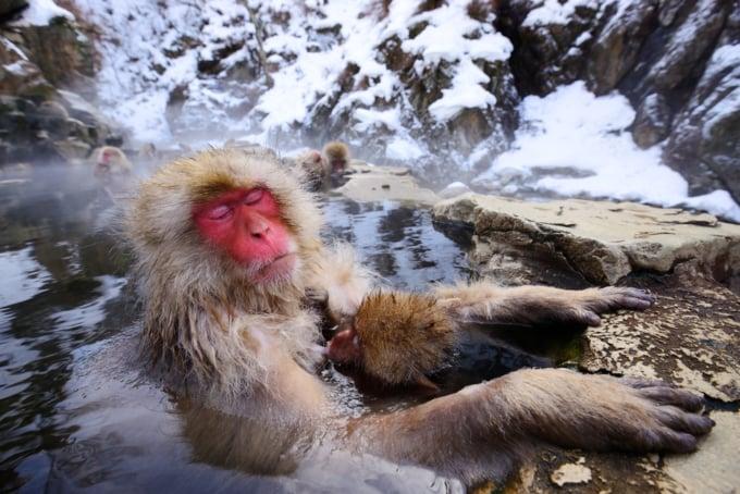 Japanese snow monkeys bathing in hot springs in Nagano