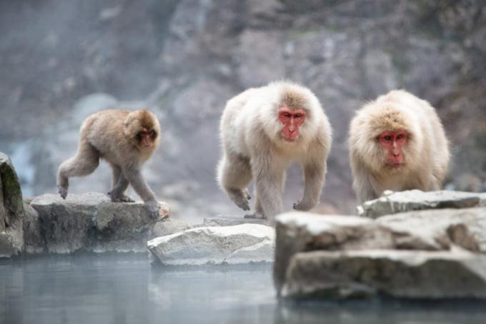 Japanese snow monkeys at Jigokudani