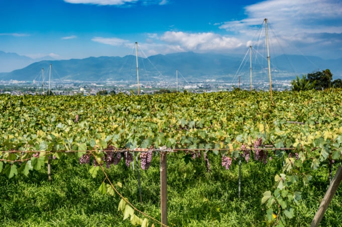 View of vineyards and grapes in Koshu Valley, Japan's wine region