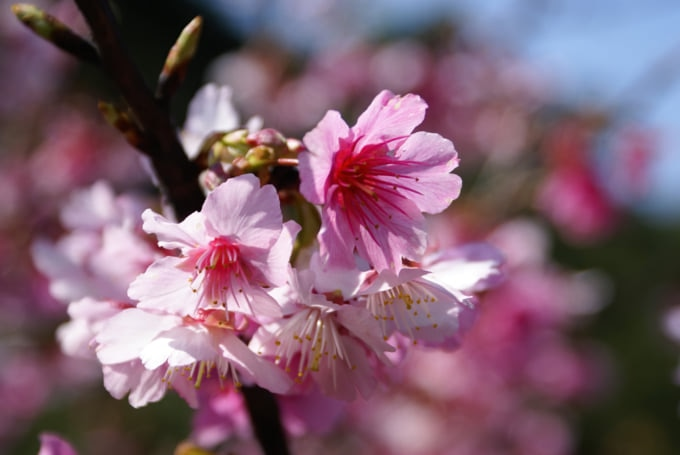 Cherry Blossoms in Wulai, Taiwan