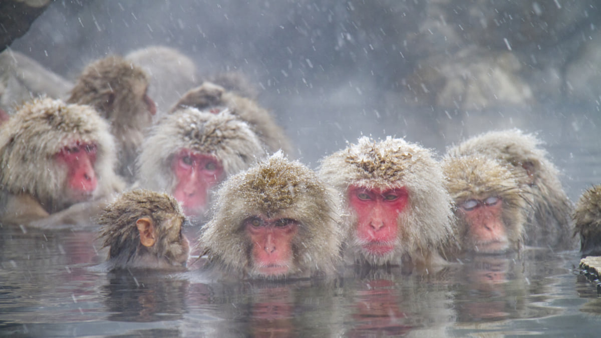 How to See the Hot Spring Bathing Snow Monkeys in Japan