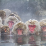 Japanese Snow Monkeys bathing in hot springs during cold winter weather in Nagano, Japan