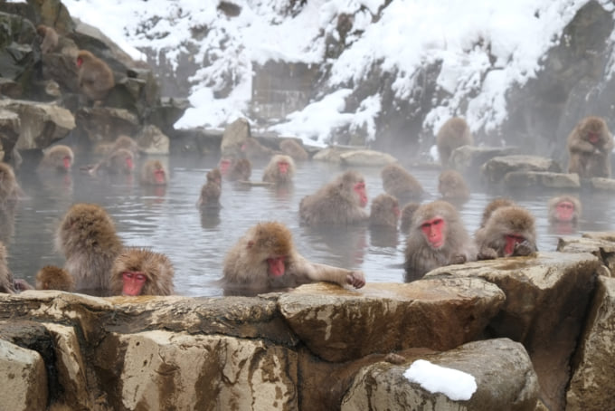 Japanese macaques or snow monkeys at Jigokudani Monkey Park