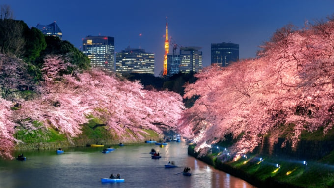 Chidorigafuchi Moat Night Sakura, beautiful cherry blossoms