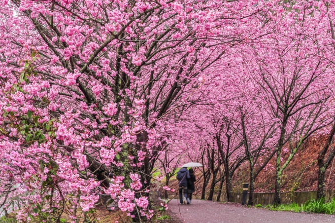 Cherry Blossoms in Wuling Farm, Taiwan